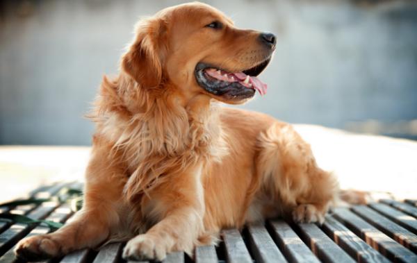 不咬人的狗狗是什么狗,什么狗狗比较好 第1张