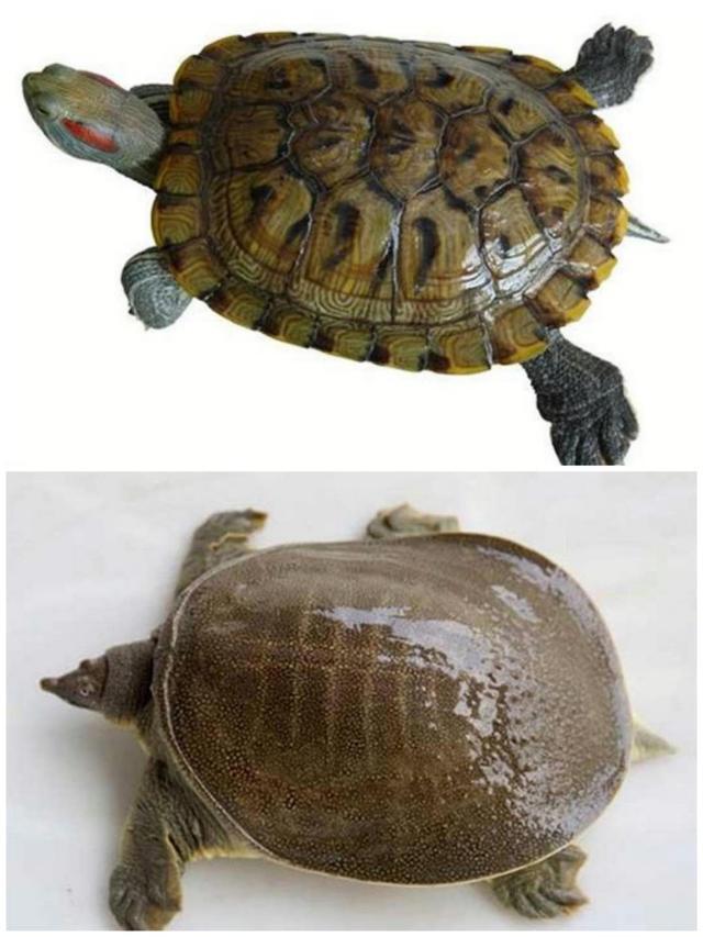 甲鱼和乌龟有什么区别,多角度阐述龟和鳖的区别 第1张