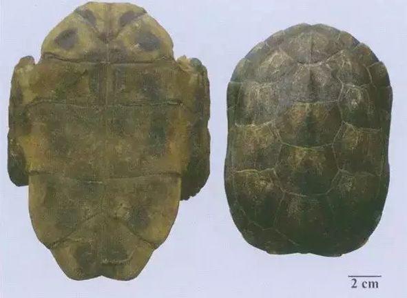 甲鱼和乌龟有什么区别,多角度阐述龟和鳖的区别 第3张