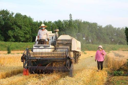 收割小麦需要洒水才能收割? 第1张